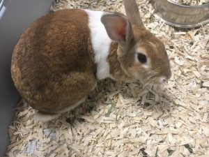 chip rabbit
